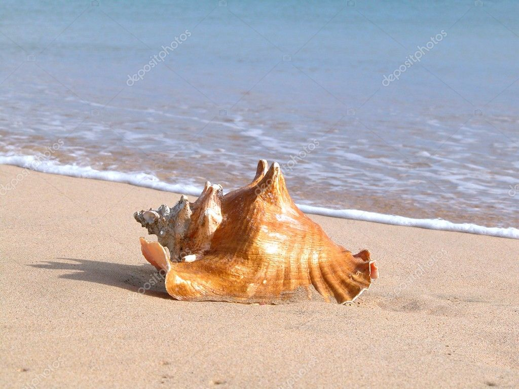 Lightning whelk sea shell on the beach  — Stock Photo #2437592