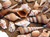 Seashell in the beach — Stock Photo