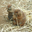 prairie dogs — Stock Photo
