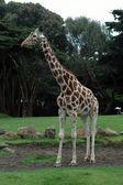 Giraffe in profile — Stock Photo