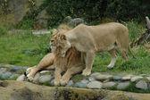 Cuddling lions — Stock Photo