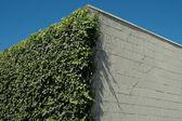 Ivy & white blocks — Stock Photo