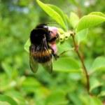 una abeja recoge polen de la flor — Foto de Stock   #2487406