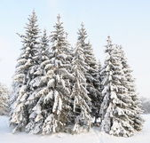 Snow-covered fur-trees — Stock Photo