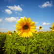 Sunflower field under blue sky - Stock Photo