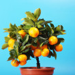 Stock Photo: Home orange tree calamondin