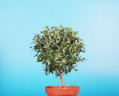 Small myrtle tree — Stock Photo