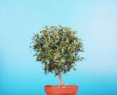 Small myrtle tree — Stock Photo