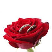 Złote pierścienie na czerwona róża — Zdjęcie stockowe
