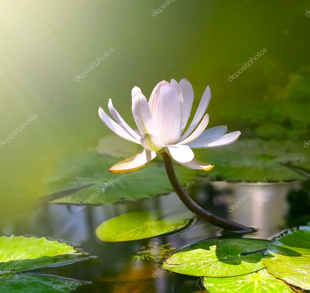 Water lily flower  — Stock Photo #1948706