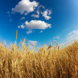 Yellow wheat field under blue sky - Stock Photo
