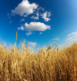 Yellow wheat field under blue sky — Stock Photo