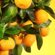 Orange tree — Stockfoto #1972230
