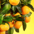 Orange tree — Stock fotografie #1972230