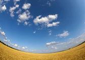 Wheat field and sky — Стоковое фото