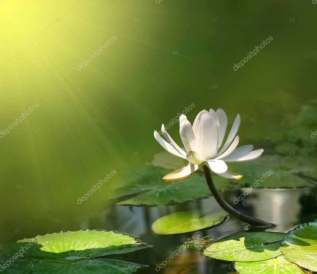Water lily flower  — Stock Photo #1971268