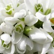 Snowdrops - Stock Photo