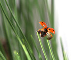 Ladybug in green grass — Stock Photo