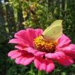 Yellow butterfly on flower - Stock Photo