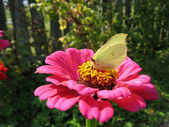 Yellow butterfly on flower — Stock Photo