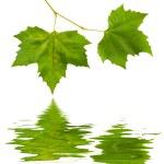 Beautiful green leaves — Stock Photo