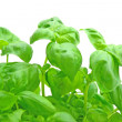 Stock Photo: Basil