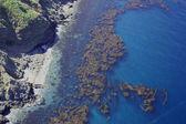 Pacific Kelp — Stock Photo