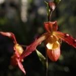 deux orchidées rouges sur une tige — Photo