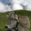 Alpine cow — Stockfoto