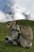 Alpine cow — Stock Photo