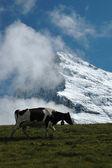 Alpine grasslands — Stock Photo