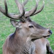 Deer in profile - Stock Photo