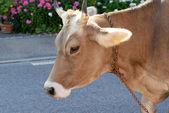 Mucca e fiori — Foto Stock