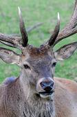 Deer portrait — Stock Photo