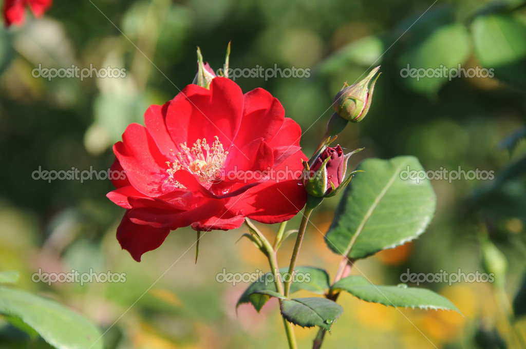 Lovely red rose — Stock Photo #2065349