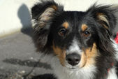 Sheltie eyes — Stock Photo