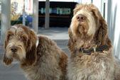 Deerhound friends — Stock Photo