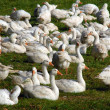 Geese group — Stock Photo