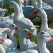 Stock Photo: Group of geese