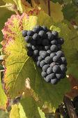 Autumn grapes — Stock Photo