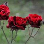 Rose trio — Stock Photo