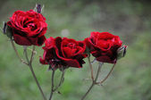 Rose trio — Stock Photo