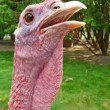 Turkey with neck extended closeup — Stock Photo