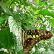 Jay tailed butterfly on sunlit leaf — Stock Photo #2076943