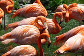 Flock of flamingos — Stock Photo