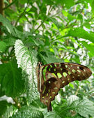 Jay tailed butterfly on sunlit leaf — Stock Photo