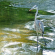 Blue heron hunting in river currents — Stock Photo #2121990