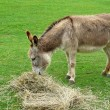 Donkey eating hay in field — Stock Photo #2124027