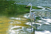 Blue heron hunting in river currents — Stock Photo