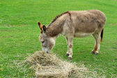 Donkey eating hay in the field — Stock Photo